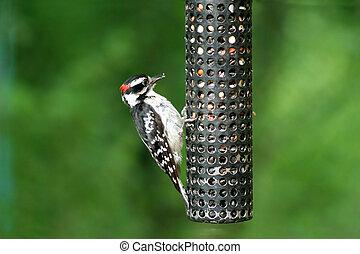 pájaro carpintero, downey, birdfeeder