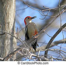 pájaro carpintero, rojo - bellied