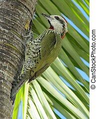 pájaro carpintero, verde