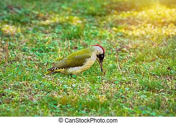 pájaro carpintero, verde, suelo