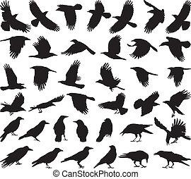 pájaro, carroña, cuervo