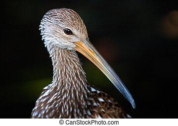 pájaro, con, largo, pico, o, cuenta
