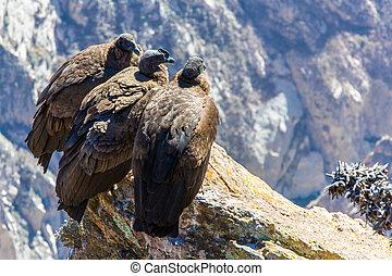 pájaro, condors, tres, esto, tierra, cañón, perú, colca, cóndor, vuelo, sentado, america., más grande, sur