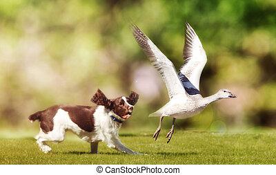 pájaro, perseguir, campo, perro