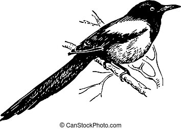 pájaro, urraca