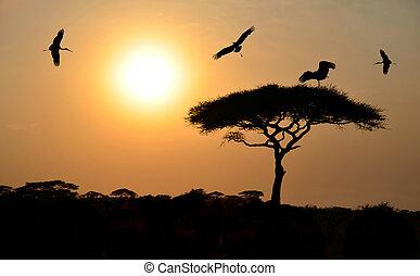 pájaros que vuelan, sobre, árbol de goma arábiga, en, ocaso, en, áfrica