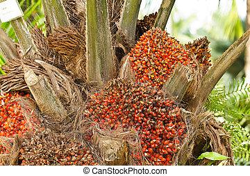 pálma, olaj, thaiföld