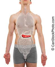 páncreas, macho, -, órganos internos, anatomía, -, 3d, ilustración