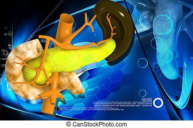 páncreas, y, bazo
