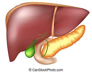 páncreas, y, hígado