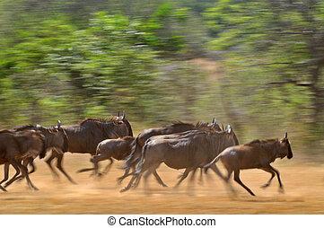 pánikszerűen menekülő, wildebeest