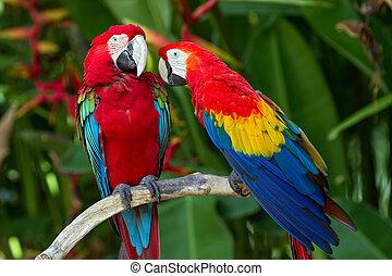 párosít, közül, green-winged, és, élénkvörös macaws, alatt,...