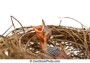 pássaro bebê, em, um, ninho