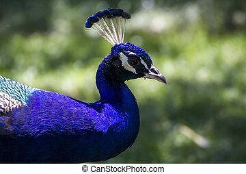 pássaro, bonito, pavão, com, coloridos, penas