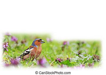 pássaro, de, mola brilhante floresce, isolado, branco