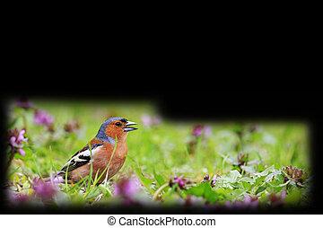 pássaro, de, mola brilhante floresce, isolado, ligado, pretas