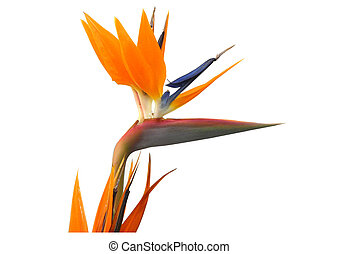 pássaro paraíso, flor