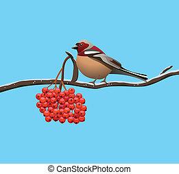 pássaro, uma filial, de, rowan, árvore