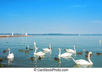 pássaros água, cisnes, patos, e, gaivotas, perto, a, cais, de, siofok, em, luz, luminoso, água, de, balaton, lago, com, iates, e, um, costa, em, a, fundo, hungary.
