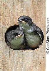 pássaros bebê, em, um, casa pássaro
