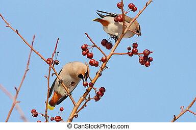 pássaros, de, a, steppes