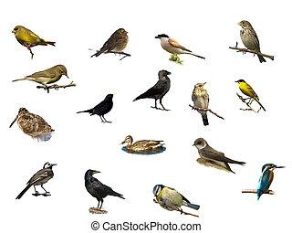 pássaros, isolado, ligado, um, branca