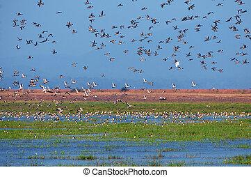 pássaros migratórios