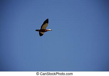 pássaros migratórios, voando, em, a, céu
