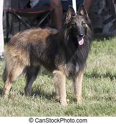 pásztor, belga