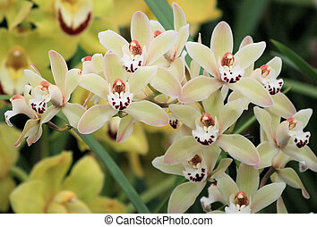 cymbidium jaune orchid e arbre vert vient prend photos de stock rechercher des. Black Bedroom Furniture Sets. Home Design Ideas