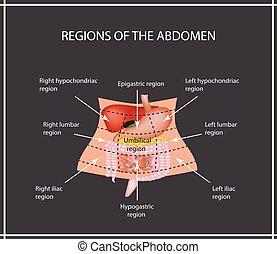 pâncreas, intestino, abdominal, region., estômago, grande, intestino delgado, fígado, gallbladder, duodenum