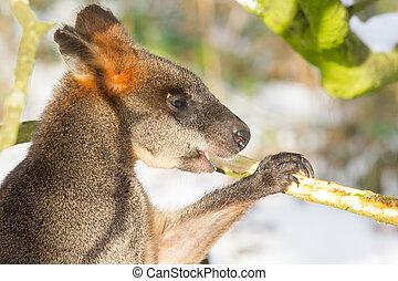 pântano, wallaby, em, a, neve, comer