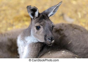 pântano, wallaby