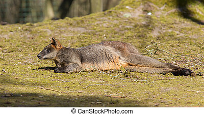 pântano, wallaby