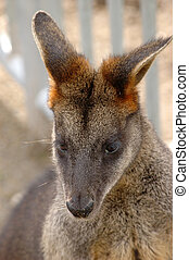 pântano, wallaby, (wallabia, bicolor)