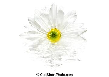 pâquerette blanche, isolé, reflet