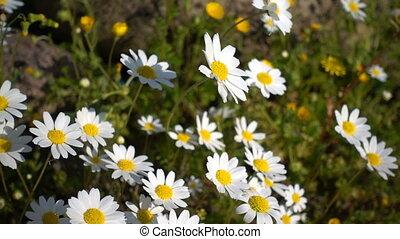 pâquerette, fleur blanche, nature