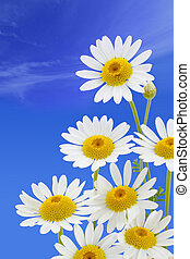 pâquerette, fleur, contre, ciel bleu