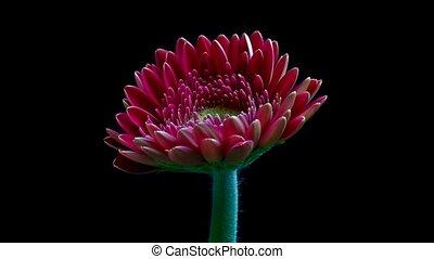 pâquerette, fleur, gerbera, ouverture