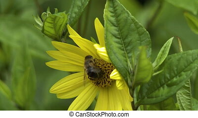 pâquerette fleur, jaune, abeille, coccinelle