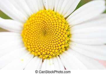 pâquerette fleur