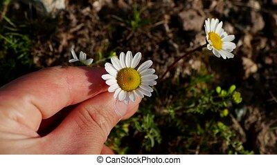 pâquerette, fleurs, nature, croissant