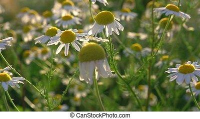 pâquerette, fleurs, nature