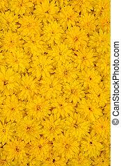 pâquerette, fond, laciniata, rudbeckia, jaune, groupe, fleur, têtes