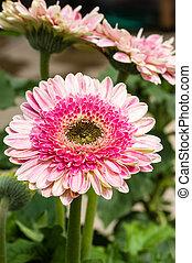 pâquerette rose, fleur, fleur