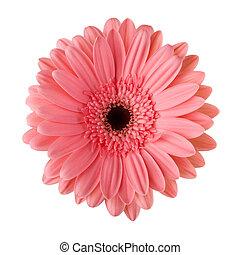 pâquerette rose, fleur, isolé, blanc