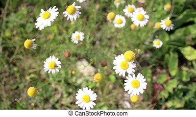 pâquerettes, croissant, fleurs, ensemble, petit, agréable, beau, blanc
