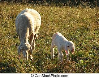 pâturage, agneau, mère, mouton, jeune