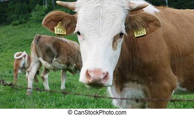 pâturage, bétail, montagne