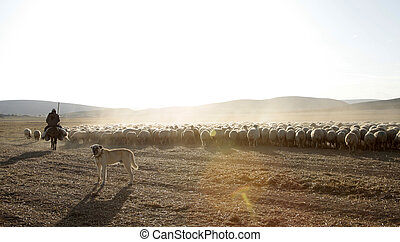 pâturage, berger, sheepdog, mouton